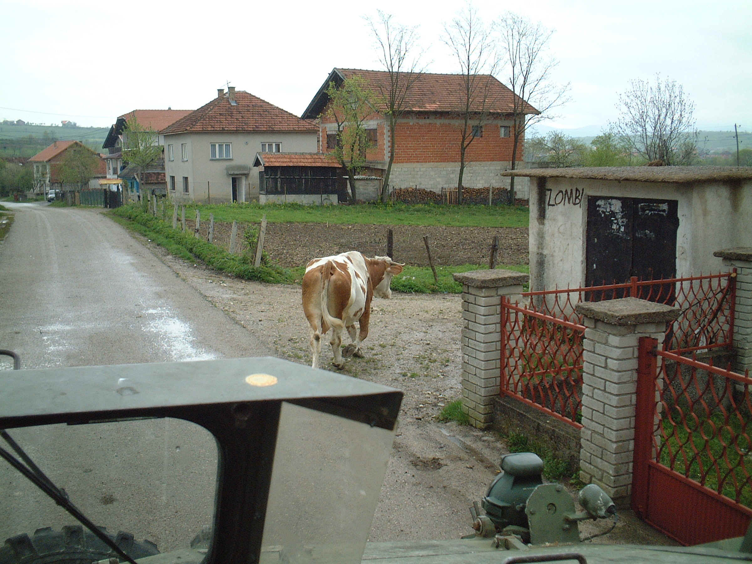 Cow out for a walk.JPG (780234 bytes)
